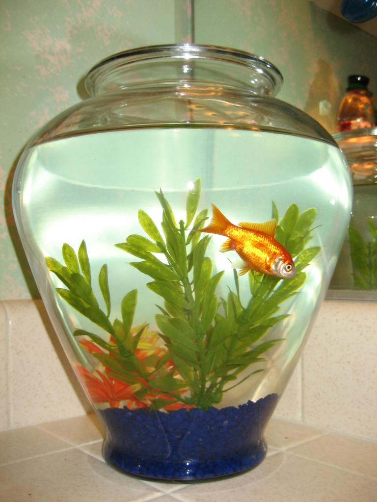 Goldfish in large glass vase